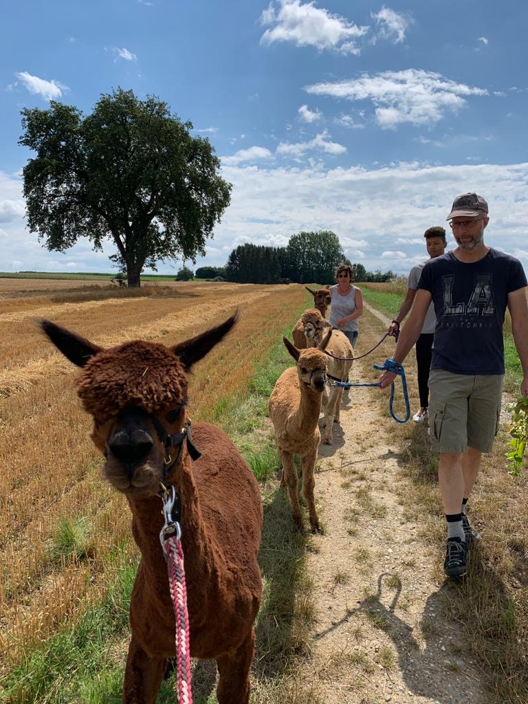 Alpaka Spaziergang im Bodenseekreis mit unseren 4 Jungs
